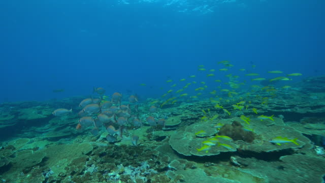 Underwater track over reef with shoal Yellow Goatfish then Priacanthus