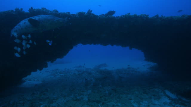 Underwater track through arch in reef past Potato Cod with fishing line and lure hanging from its mouth