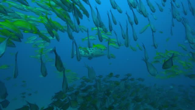 underwater track through dense shoal of hatchetfish and yellow goatfish - goatfish stock videos & royalty-free footage