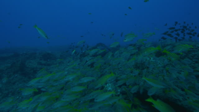 Underwater track through huge shoals of fish swimming over reef