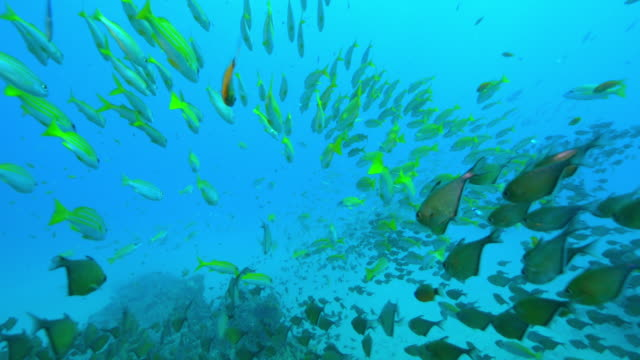 underwater track through huge shoals of yellow goatfish and other fish swimming over reef - triglia tropicale video stock e b–roll