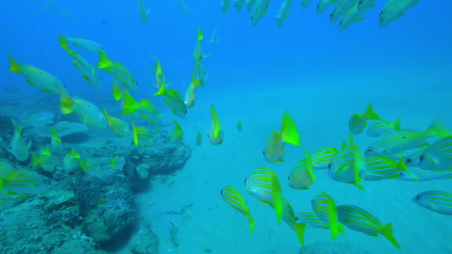 Underwater track through huge shoals of Yellow Goatfish and other fish swimming over reef