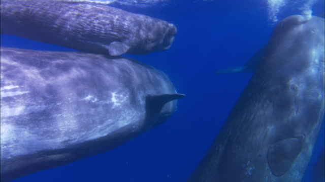 Underwater track through large pod of sperm whale