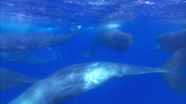 Underwater track through pod of sperm whale