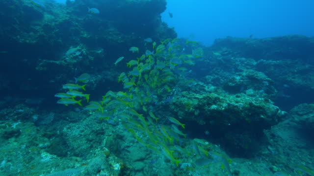 underwater track through shoal of yellow goatfish and others floating in current - goatfish stock videos & royalty-free footage