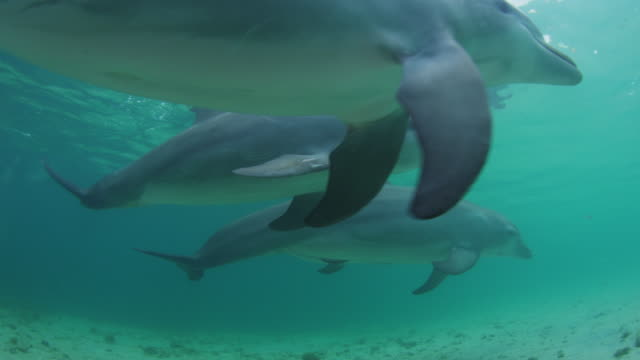 Underwater track towards 2 Bottlenosed Dolphins swimming close to camera over sandy seabed