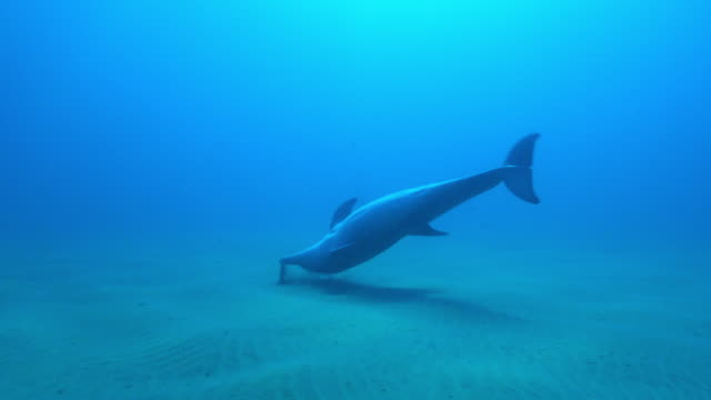 underwater track towards bottlenosed dolphin poking seaweed on seabed and flipping over then swimming away - seaweed stock videos & royalty-free footage
