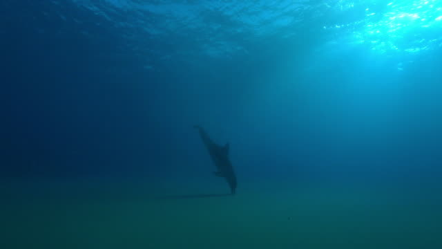underwater track towards bottlenosed dolphin scanning seabed with sonar  - delfino video stock e b–roll