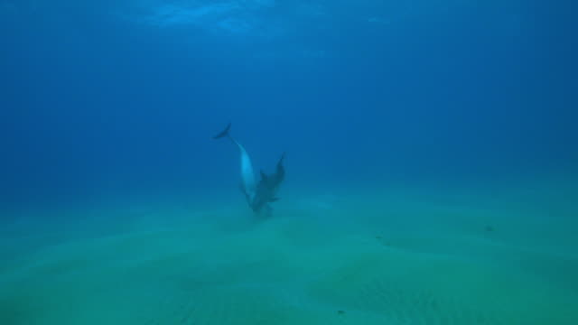 underwater track towards bottlenosed dolphin with calf scanning seabed with sonar  - bottle nosed dolphin stock videos & royalty-free footage