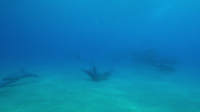 underwater track towards bottlenosed dolphins playing around reef then join large group who synchronised dive  - cetacea stock videos & royalty-free footage