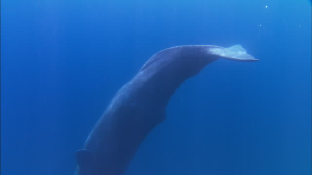 underwater track towards diving sperm whale - sperm whale stock videos & royalty-free footage
