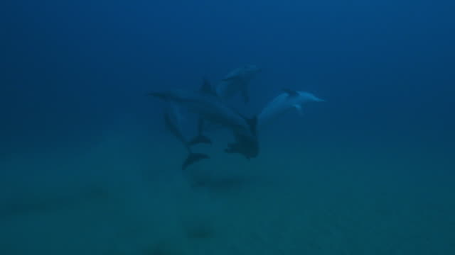 underwater track towards group of sexually excited male bottlenosed dolphins on seabed - tierpenis stock-videos und b-roll-filmmaterial