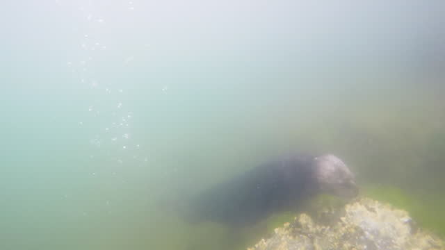 underwater track towards sea otter foraging on seabed - foraging stock videos & royalty-free footage