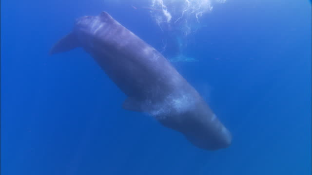 underwater track towards sperm whale and it's calf - sperm whale stock videos & royalty-free footage