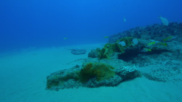 Underwater track towards Stingray as it crashes into reef and dislodges 2 Remoras