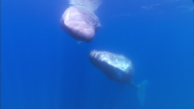 Underwater track towards two spinning sperm whales
