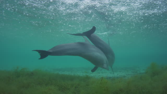 Underwater track with 2 Bottlenosed Dolphins swimming from camera over seagrass in rain