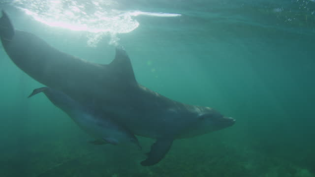 vídeos de stock e filmes b-roll de underwater track with bottlenosed dolphin and young calf swimming below surface - roaz