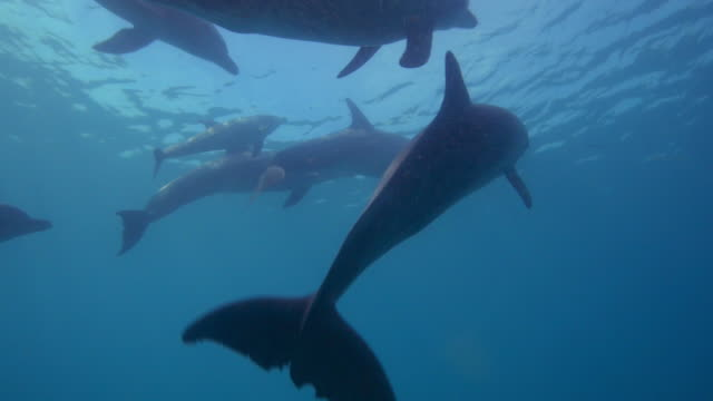 underwater track with bottlenosed dolphin group and small calf swimming just below surface - tursiope video stock e b–roll