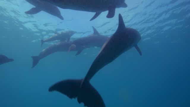vídeos y material grabado en eventos de stock de underwater track with bottlenosed dolphin group and small calf swimming just below surface - delfín hocico de botella