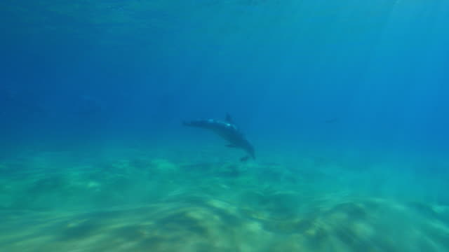 underwater track with bottlenosed dolphin playing with seaweed  - seaweed stock videos & royalty-free footage