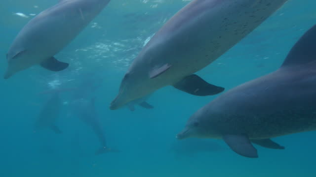 underwater cu track with bottlenosed dolphin swimming in shallow sea  - cetaceo video stock e b–roll