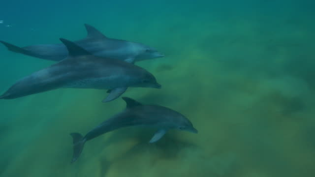 underwater cu track with bottlenosed dolphins and calf swimming in shallow sea  - cetacea stock videos & royalty-free footage