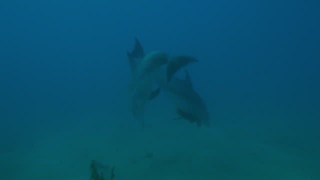 underwater track with bottlenosed dolphins playing with seaweed - 海草点の映像素材/bロール