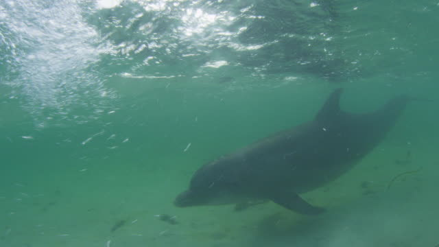 vídeos de stock, filmes e b-roll de underwater track with bottlenosed dolphins swimming over seabed  - zoologia