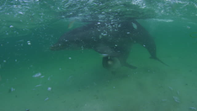 vídeos de stock, filmes e b-roll de underwater track with bottlenosed dolphins swimming to camera over seabed  - zoologia