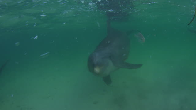 Underwater track with Bottlenosed Dolphins swimming to camera over seabed with fish in foreground