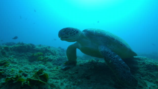 underwater cu track with green turtle walking over coral reef - 海草点の映像素材/bロール
