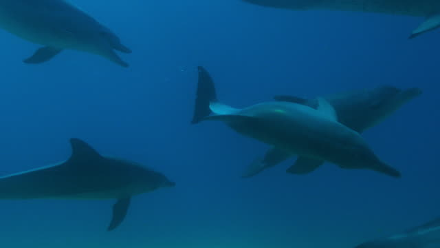 underwater cu track with group of bottlenosed dolphins swimming close to camera - クジラ目点の映像素材/bロール