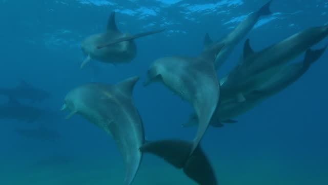 underwater track with group of sexually excited male bottlenosed dolphins  - tierpenis stock-videos und b-roll-filmmaterial