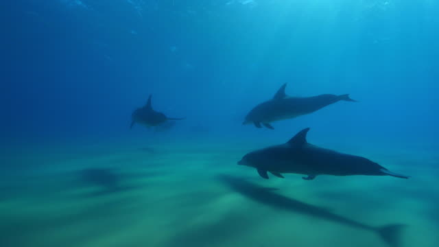 underwater track with group of sexually excited male bottlenosed dolphins with synchronised surfacing - tierpenis stock-videos und b-roll-filmmaterial