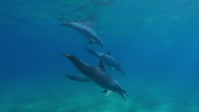vidéos et rushes de underwater track with group of sexually excited male bottlenosed dolphins courting female - cétacé