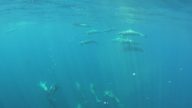 Underwater track with group of Spinner Dolphins swimming and surfacing to breathe