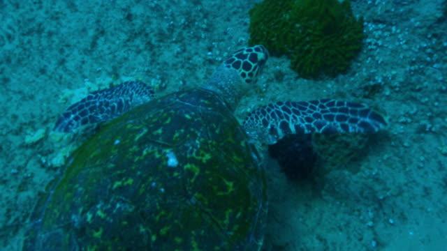 underwater ha cu track with hawkbill turtle swimming over reef  - 水棲ガメ点の映像素材/bロール
