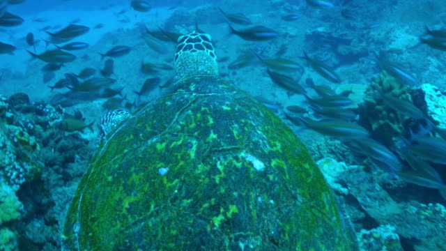 underwater ha cu track with hawkbill turtle swimming over reef  - large stock videos & royalty-free footage