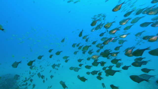 underwater track with huge shoals of hatchetfish and other fish floating over reef - triglia tropicale video stock e b–roll