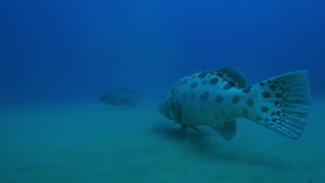 underwater track with potato cod as it swims towards second cod - タラ点の映像素材/bロール