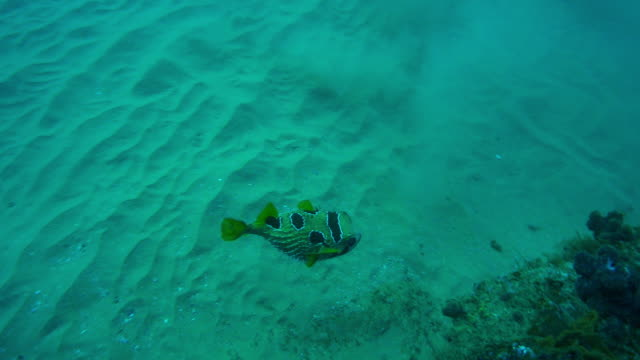 Underwater track with Puffer Fish swimming over coral reef then hiding in gap