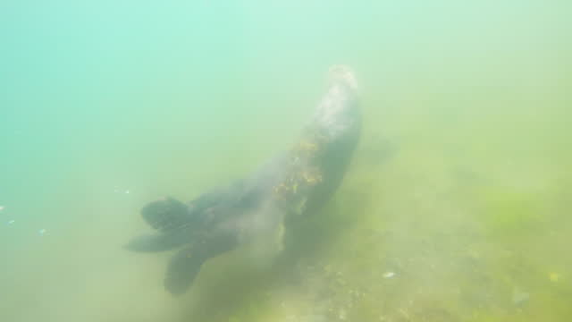 underwater track with sea otter foraging on seabed then surfacing - surfacing stock videos & royalty-free footage