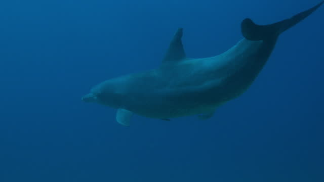 underwater ms track with sexually excited male bottlenosed dolphin swims towards surface - tierpenis stock-videos und b-roll-filmmaterial