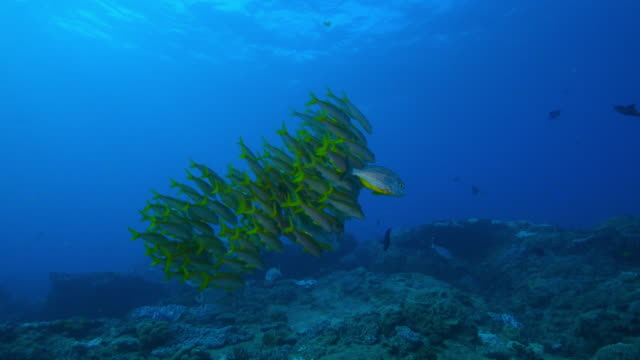 underwater track with shoal of yellow goatfish and others swimming over reef - triglia tropicale video stock e b–roll