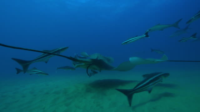 underwater track with small eyed stingray surrounded by other stingrays, cobia and remoras  - stingray stock videos and b-roll footage