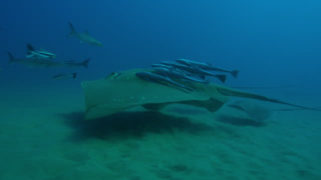 underwater track with small eyed stingray swimming with remoras and bottlenosed dolphin in background  - stechrochen stock-videos und b-roll-filmmaterial
