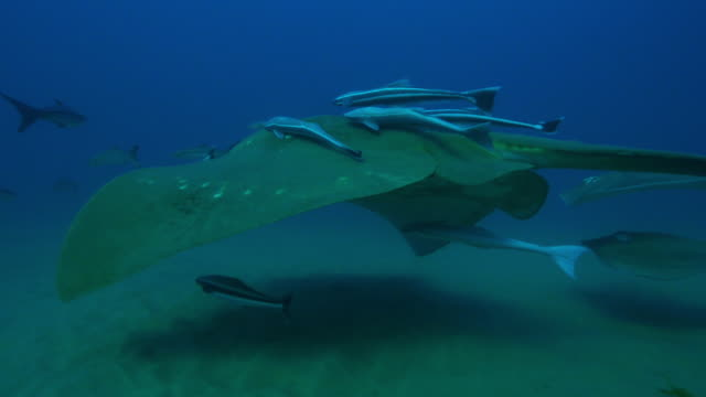 Underwater track with Small eyed Stingray swimming with Stingrays riding on top and Remoras