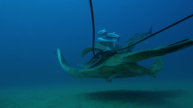 vídeos y material grabado en eventos de stock de underwater track with small eyed stingray swimming with stingrays riding on top and remoras pan to bottlenosed dolphin  - rémora
