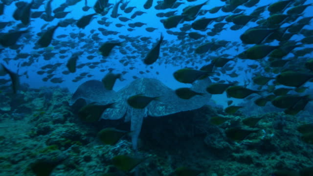 underwater ms track with stingray swimming over reef through shoals of fish  - stingray stock videos and b-roll footage